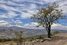 Ayacucho: Tara (Tara tree)