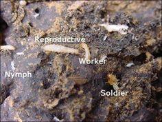 Different types of termites