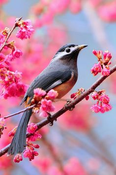 A bird on the sakura tree
