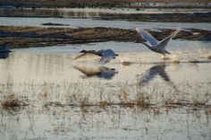 Reader caption: Take off from Creamer's—Two Tundra swans stopping over in Fairbanks on their way to their breeding grounds on the North Slope.  — Lena, Fairbanks