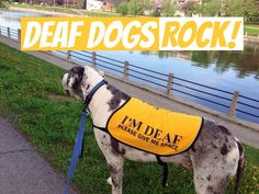 In honor of Deaf Dog Awareness Week and my own deaf Great Dane Moose we present to you – 10 Reason's Why Deaf Dogs Rock! curtsey of Deaf Dogs Rock.