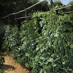 Growing Tomatoes on Stakes » Harvest to Table