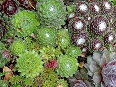 How to Grow and Care for Sempervivum - See more at: http://worldofsucculents.com/how-to-grow-and-care-for-sempervivum