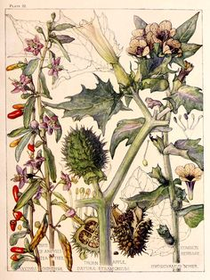 The Nightshade Family. Arts and Crafts-style botanical illustrations by H. Isabel Adams taken from 'Wild Flowers of the British Isles. Vintage Botanical Prints, Botanical Drawings, Antique Prints, Botanical Art, Illustrations, Graphic Illustration, Science Illustration, Globe Flower, Merian