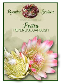 Protea Repen / Sugarbush