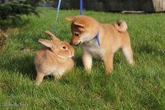 Shiba Inu and Rabit 柴犬とウサギ Animals And Pets, Baby Animals, Funny Animals, Cute Animals, Silly Dogs, Cute Dogs, Funny Dog Pictures, Cute Pictures, Akita Dog
