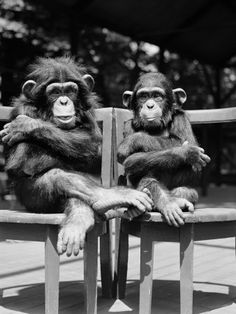 """Two baby Chimps. They don't seem like they feel like working today...I think even a """"Banana""""--won't get them moving"""