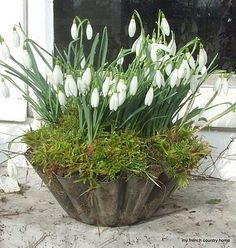 Old tin mould planted up with Snowdrops. I planted a metal colander with miniature daffodil bulbs and covered the top with moss, as a Christmas gift last year and they loved it. Spring Flowers, White Flowers, Beautiful Flowers, Container Plants, Container Gardening, My French Country Home, Pot Jardin, Deco Nature, Spring Bulbs