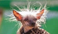 The annual World's Ugliest Dog contest included this guy, who I think is adorable