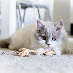 #gutenmorgen gestern habe ich ausnahmsweise mal nicht das Paule fotografiert sondern den kleinen Kater von @eklis_82 #kitten #kater #katze #kitty #cat #britischlanghaar #britishlonghair #nikonphotography #nikon # by _taari_ http://www.australiaunwrapped.com/