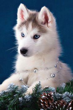 Siberian Husky                                                                                                                                                      More