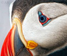 Look into my eye by Alexander Koenders on 500px Atlantic puffin portret