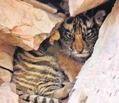 Tiger clan at Ranthambore grows further  as new cubs have been sighted in tourism areas