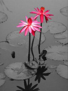 pink flowers / color splash