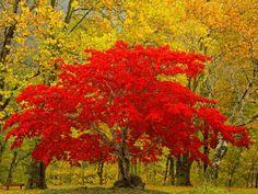 uma bela arvore vermelha
