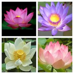 Mana Keepers: Lotus flower - Quick Reference