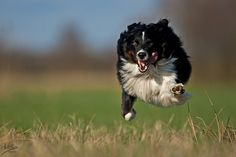 """""""Superman"""" by Nicole Knor - This border collie is so full of enthusiasm, excitement and energy"""