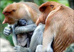 "Family of Proboscis Monkeys (Nasalis larvatus). They are also known as long-nosed monkey, the bekantan, monyet belanda (""Dutch monkey""), and orang belanda (""Dutchman"")."