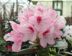Rhododendron Southgate® Radiance™ = 'Tyler Morris'. The Southgate™ Rhododendrons are creations of Dr John Thornton and bred to thrive in the deep south of Louisiana. John used R. hyperythrum as the heat tolerance imparting parent in his crosses. They are also cold-hardy to at least zone 6.
