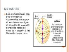 Resultado de imagen de metafase