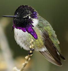 Costa's Hummingbird: Costa's Hummingbird - Male
