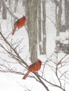 winter cardinals...love them reminds me of grandma's house
