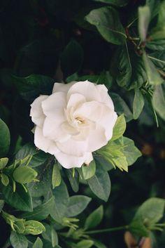 White Gardenia.