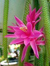 Disocactus speciosus - Sun Cereus | World of Succulents