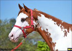 Paint Horse, Tempestade Colors MB, cavalo, horse, cavalos, mercado, n1cavalos,
