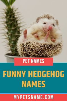 Hulk can be a great name for a huge hedgehog and an ironically funny name for a tiny pet. Check out our list of name ideas which includes some incredibly funny hedgehog names that's sure to leave you in splits. Hedgehog Names, Hedgehog Colors, Funny Hedgehog, Hedgehog Pet, Cute Pet Names, Great Names, Funny Names, Siamese Kittens, Baby Kittens