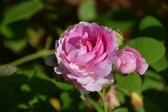 Baltimore Belle – ruusu | Vesan viherpiperryskuvat – puutarha kukkii