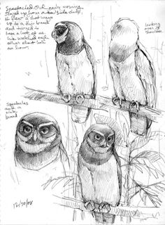 Drawing this owl from life was a rare opportunity. That facial pattern is hard to figure out from photos (or skins, for that matter). Seeing it from every angle showed me how it was put together. Pencil Drawings Of Animals, Animal Sketches, Bird Drawings, Drawing Sketches, Drawing Ideas, Sketching, Art And Illustration, Illustrations, Cartoon Kunst