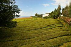 #Azores #SaoMiguel #nature #green #tea #gorrena