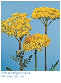 Yarrow - I think the yellow variety has a longer vase life, bold and cheery