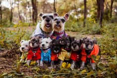 Ranked as one of the most popular dog breeds in the world, the Miniature Schnauzer is a cute little square faced furry coat. Miniature Schnauzer Puppies, Schnauzer Puppy, Schnauzers, Cute Puppies, Cute Dogs, Dogs And Puppies, Doggies, Schnauzer Gigante, Baby Animals