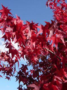 Liquidambar styraciflua / Amerikanischer Amberbaum / Guldenbaum – ein Klassiker mit wunderschönen, variierenden Herbstfärbung (weinrot, orange, gelb bis zu tiefpurpur), der auch hierzulande schon viele Gartenfreunde begeistert
