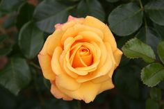 """""""We can complain because rose bushes have thorns, or rejoice because thorn bushes have roses.""""-- Abraham Lincoln"""