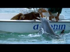 """OneWorldOneOcean has posted this clip of a dolphin going up to a boat, being instructed to give the dog onboard a """"kiss"""" and then, jumping high out of the water. Although that smooching…"""