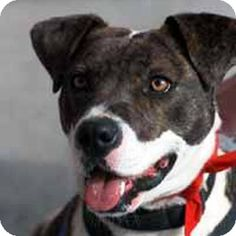 Potomac, MD - Hound (Unknown Type)/American Bulldog Mix. Meet Ellie May a Dog for Adoption.