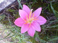 Junquilho rosa