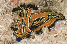 Roboastra tigris from Sea of Cortez, Mexico