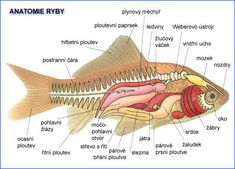 anatomie rb Animal Anatomy, Anatomy Art, Elementary Science, Animals And Pets, Homeschool, Education, Google, Pisces, Index Cards