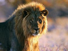 Leo the Lion - nature, mane, big cat