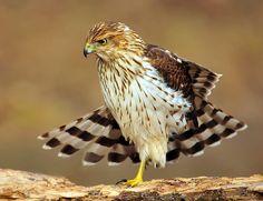 Immature Cooper's Hawk..