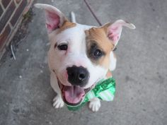 TEMPLETON - A1105419 - - Brooklyn  TO BE DESTROYED 03/15/2017 *PUBLICLY ADOPTABLE* -  Click for info & Current Status: http://nycdogs.urgentpodr.org/templeton-a1105419/