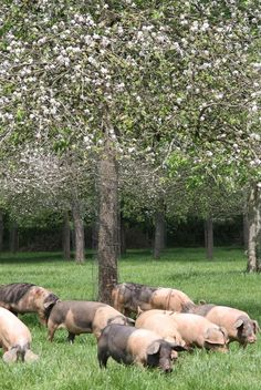 Saddleback pigs in the orchard