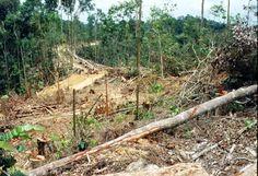 Indonesia: Orangutans in big trouble | Asia News – Politics, Media, Education | Asian Correspondent