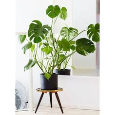 See more ideas about philodendron monstera, indoor palms and tropical house Monstera Deliciosa, Big Leaf Indoor Plant, Big Leaf Plants, Cool Indoor Plants, Indoor Palms, Ficus, Plantas Indoor, Belle Plante, Container Gardening