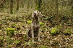 Weimarse staande hond