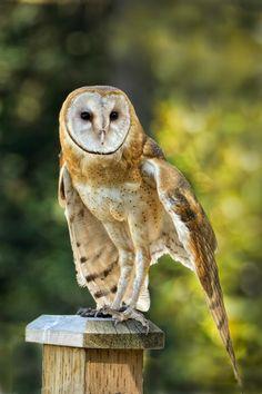 Barn Owl beauty <3
